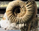 Ceratit, Ammonitenart im Muschelkalk