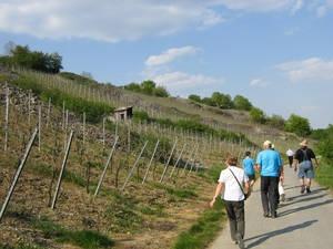 Wandern in den Weinbergen um Laudenbach